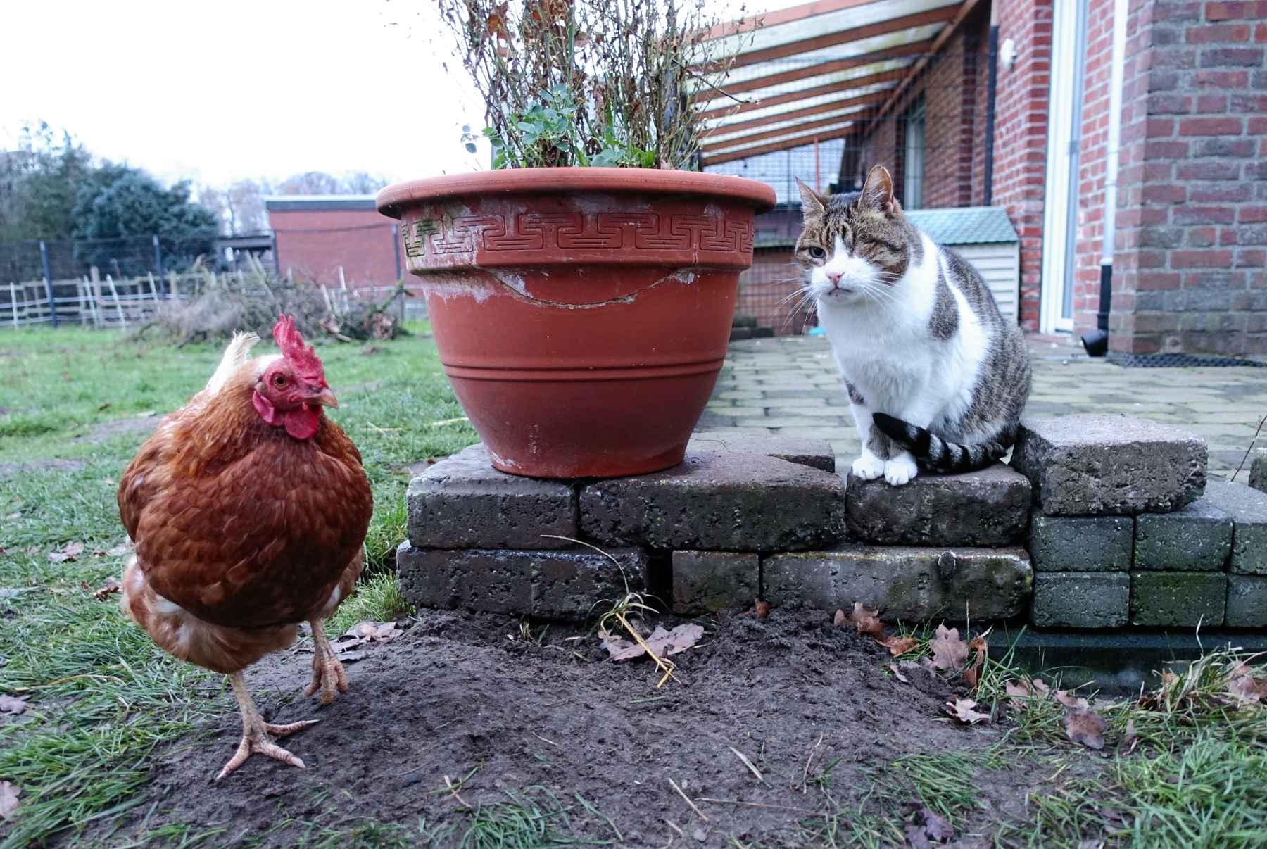 Katze+Huhn_Garten_Lebenshof_Varensell